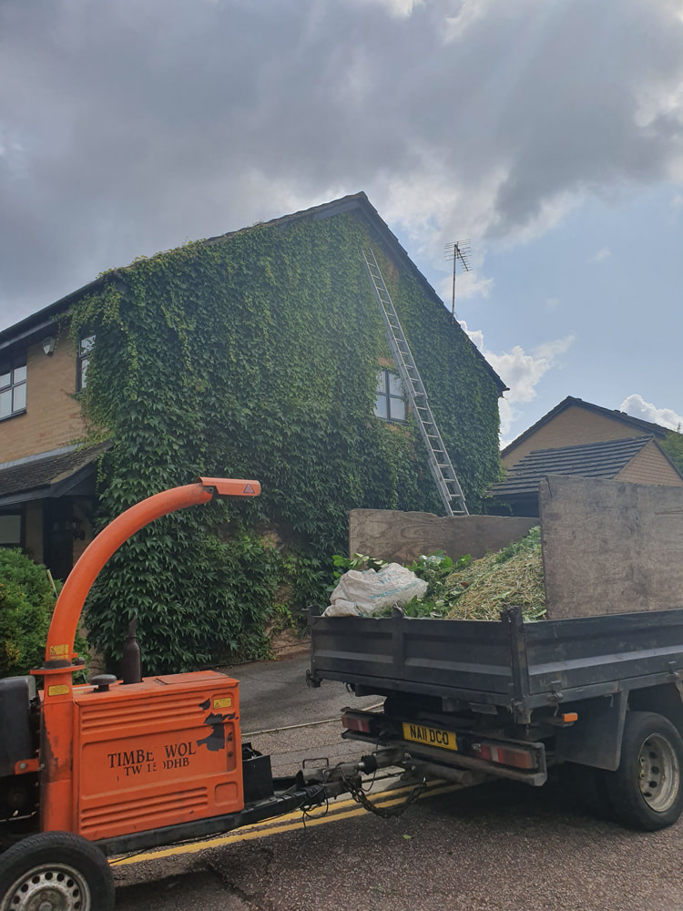 Ivy Removal from House in Ickenham