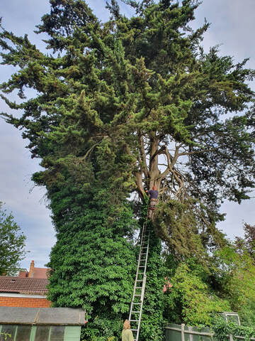 Tree Felling in Greenford